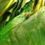 I found this ladybug in the leaves of the beets I bought at Green City Market. I carried her and her leaf down eleven floors to place them outside by a shrub. The man next to me in the elevator looked very confused.