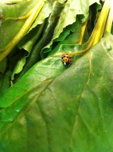 A ladybug in my beet greens.